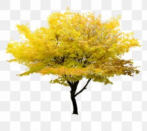 Yellow Tree - Twig Tree Yellow Maple PNG