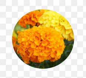Marigold - Mexican Marigold Flower Seed Pot Marigold Chrysanthemum PNG