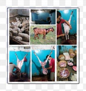 Goat - Goat Layanan Aqiqah Solo Solehaqiqah Qurbani Sheep PNG