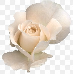White Rose Transparent - Rose Flower Clip Art PNG