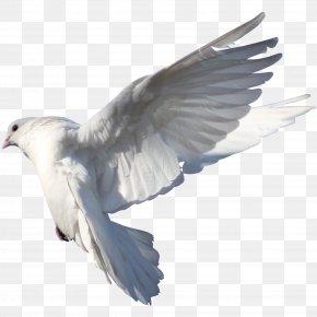 Pigeon - Homing Pigeon Columbidae Bird Typical Pigeons Drug PNG