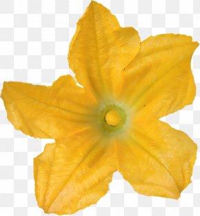Herbes - Flower Zucchini Beignets De Fleurs De Courgette Ingredient Dianthus PNG