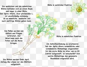 Acer Platanoides - Grasses Plant Stem Leaf Flower Font PNG