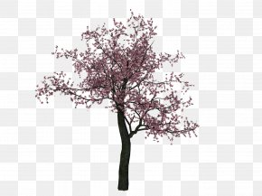 Cherry Tree Image - Cherry Blossom Cherry Blossom Tree PNG