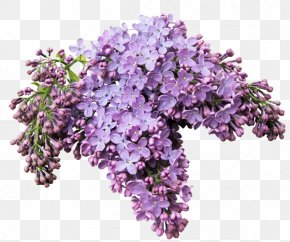 Lilac - Lilacs In A Window Flower Internet PNG