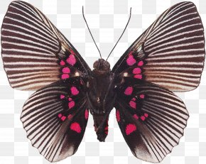Butterfly - Butterfly Souvenirs Entomologiques .. Biological Specimen Insect Collecting PNG