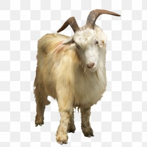 Animal Goat Element - Feral Goat Sheep PNG