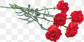 Carnations - Victory Day Flower Kryddernellike Immortal Regiment May PNG