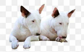 Bull Terrier - Miniature Bull Terrier Bull And Terrier Old English Terrier Bulldog PNG