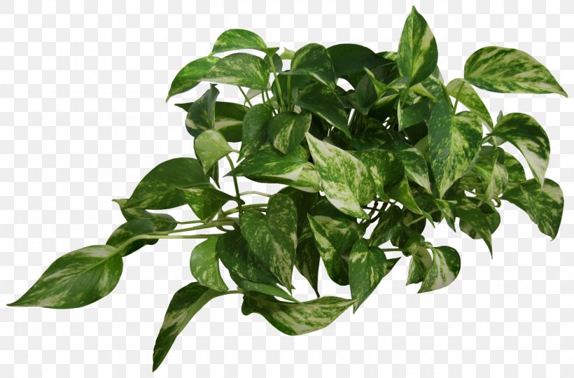 Devil's Ivy Common Ivy Vine Houseplant, PNG, 1280x843px ... on bromeliads house plant, white butterfly house plant, marble queen house plant, white house with green leaf plant, dumb cane house plant, ferns house plant, chinese evergreen house plant, dragon's tongue plant, take care pothos plant, poison ivy's plant, chinese evergreen indoor plant, different types house plant, heart leaf philodendron house plant, big house with green leaves plant,