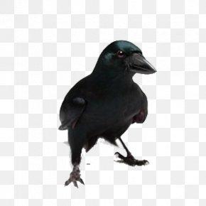 Black Crow - New Caledonian Crow Bird Common Raven Coyote PNG