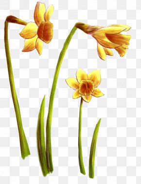 Flower - Wildflower Daffodil Cut Flowers Tulip PNG