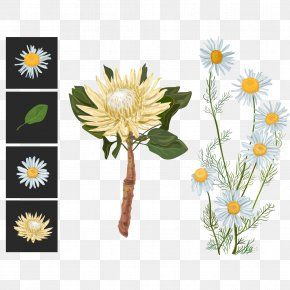 Vector White Chrysanthemums - Flower Euclidean Vector Sugarbushes Illustration PNG