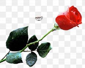 Rose Water - High-definition Video Desktop Wallpaper Rose High-definition Television PNG