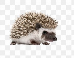 Free To Pull The Material Hedgehog Pictures - Four-toed Hedgehog Stock Photography Domesticated Hedgehog Royalty-free Stock.xchng PNG