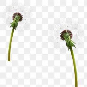 Dandelions Cartoon Download - Flower Clip Art Image PNG