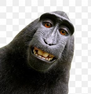 Monkey - Celebes Crested Macaque Monkey Selfie Lawsuit PNG