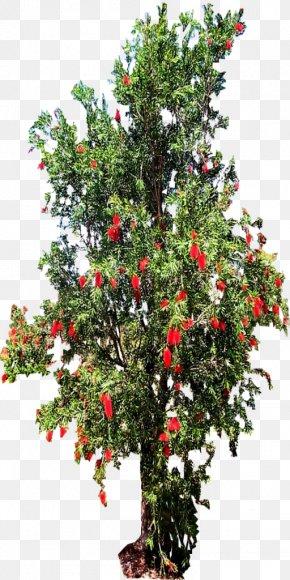 Tree Top - Melaleuca Viminalis Tree Shrub Holly Evergreen PNG