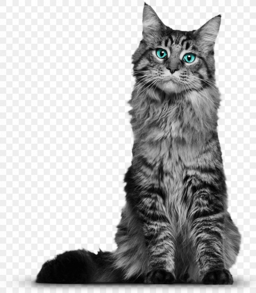 Maine Coon Whiskers Domestic Short Haired Cat Kitten Black Cat Png 851x974px Maine Coon Black And