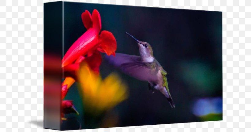 Hummingbird M Beak, PNG, 650x432px, Hummingbird, Beak, Bird, Fauna, Flower Download Free
