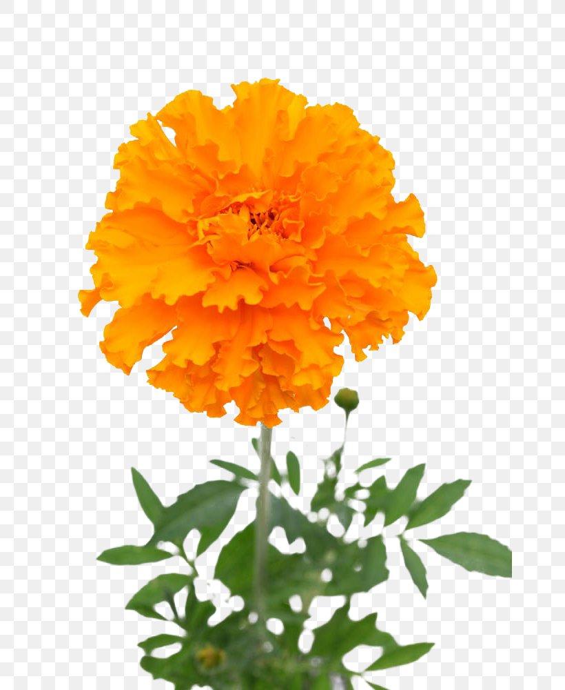 Mexican Marigold Flower Stock Photography U30d5u30a9u30c8u30e9u30a4u30d6u30e9u30eau30fc, PNG, 667x1000px, Mexican Marigold, Annual Plant, Calendula, Chrysanthemum, Chrysanths Download Free