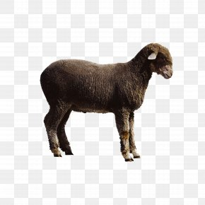 Goat - Sheep Goat Cattle PNG