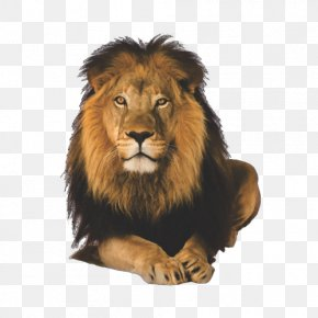 Lion - Lion Cecil Malama Umoyo Cottages Hwange National Park PNG