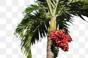 Red Palm Trees On Palm Trees - Date Palm Arecaceae Tree PNG