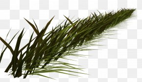 Nature - Herbaceous Plant Common Reed Grasses PNG