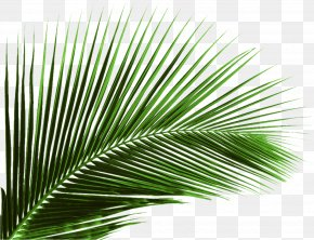 Green Banana Leaf Leaves - Arecaceae Leaf Palm Branch Tree PNG