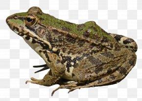 Frog - Frog Computer File PNG