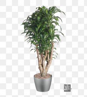 Garden Decoration Trees - Dracaena Fragrans Houseplant Dracaena Reflexa Var. Angustifolia Tree Plants PNG