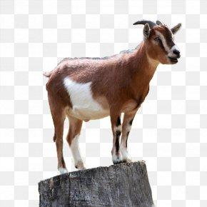 Goat - Boer Goat Caprinae Sheep Mountain Goat PNG