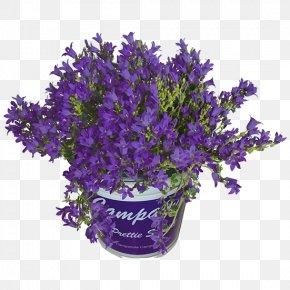 Campanula - English Lavender Bellflowers Cut Flowers Bellflower Family Flowerpot PNG