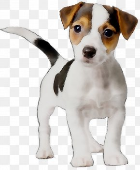 Dog Breed Jack Russell Terrier Puppy Miniature Fox Terrier Parson Russell Terrier PNG