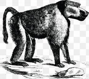 Baboon - Dog Primate Monkey Cercopithecidae Chacma Baboon PNG