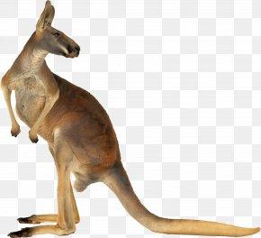 Kangaroo - Red Kangaroo Australia Eastern Grey Kangaroo PNG