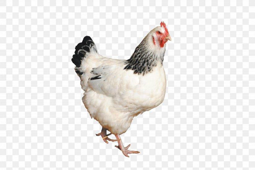 Sussex Chicken Australorp Orpington Chicken Silkie Poultry