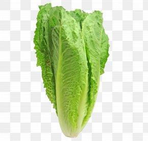 Lettuce - Caesar Salad Iceberg Lettuce Romaine Lettuce Leaf Vegetable Red Leaf Lettuce PNG