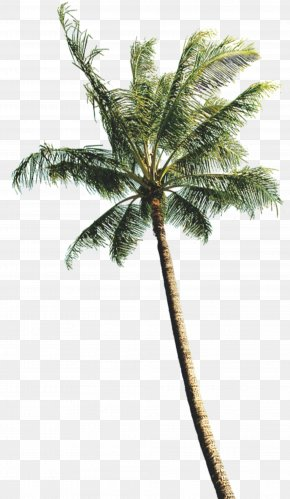 Coconut Tree Photos - Arecaceae Coconut Tree Computer File PNG