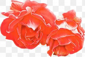 Perennial Plant Begonia - Pink Flowers Background PNG