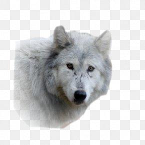Alaskan Tundra Wolf Fur Snout Wildlife Gray Wolf PNG