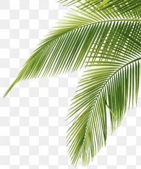 Leaf - Arecaceae Leaf Coconut Clip Art PNG