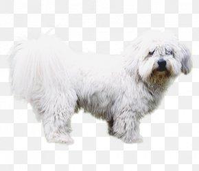 Coton De Tulear Diseases - Maltese Dog Havanese Dog Coton De Tulear Little Lion Dog Bichon Frise PNG