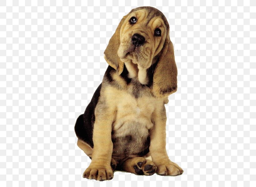 Desktop Wallpaper Youtube Dog Computer Png 600x600px Youtube Bloodhound Carnivoran Companion Dog Computer Download Free