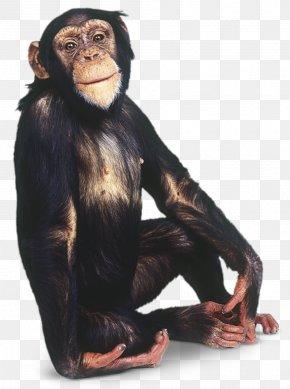 Chimpanzee - Gorilla Common Chimpanzee Primate Orangutan Gibbon PNG