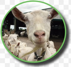 Goat - Goat Sheep Industry Dairy Federated Farmers PNG