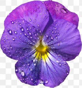 Violet Flower With Dew Clipart - Viola Sororia Violet Flower Clip Art PNG