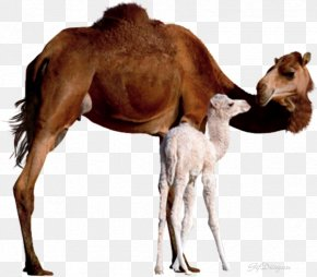 Child - Bactrian Camel Dromedary Baby Camels Mother Infant PNG