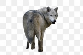 Wolf - Czechoslovakian Wolfdog Saarloos Wolfdog Alaskan Tundra Wolf Coyote PNG